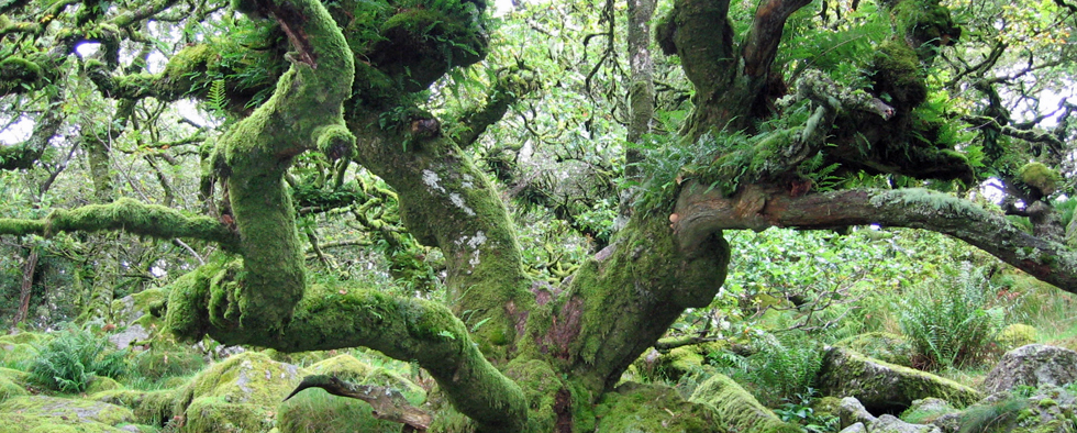 Whistman's Wood - Ancient Oak Grove in the Dart Valley